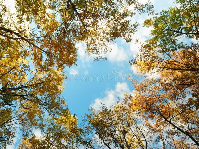 den guld- oaken tops treen arkivfoton