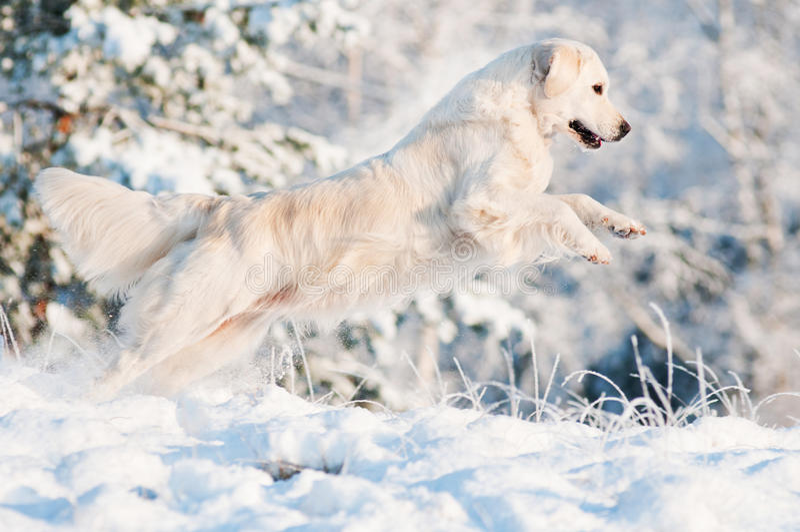 Den guld- retrieveren förföljer banhoppning i snowen royaltyfria foton