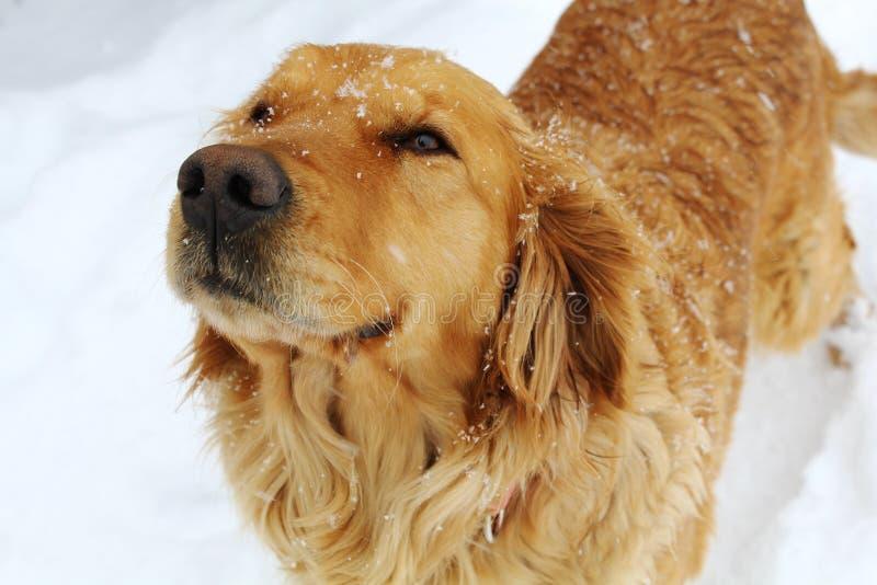 Den guld- retrieveren förföljer i Snow arkivfoton