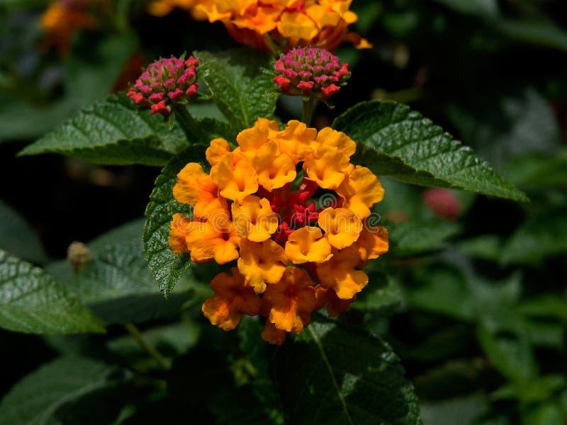 Den gulliga apelsinen blommar i den Lantena växten royaltyfri bild