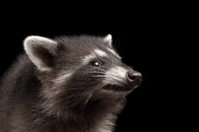 Den gulliga Closeupståenden behandla som ett barn tvättbjörnen som isoleras på svart bakgrund royaltyfri fotografi