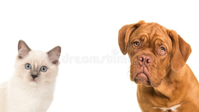 Den gulliga den bordeauxhunden och trasdockan behandla som ett barn kattståenden arkivfoto