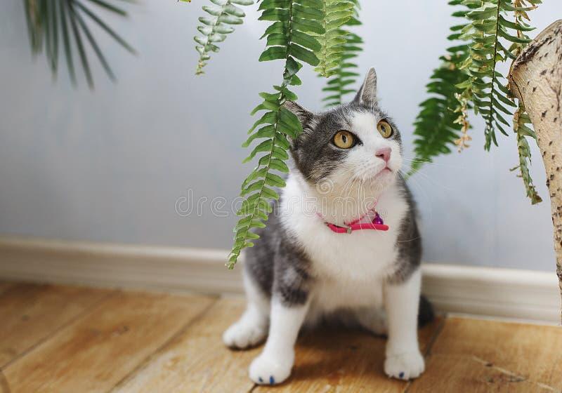 Den gulliga fluffiga katten med det vita bröstet och tafsar i en röd krage ser till sidan bland gräsplanen fotografering för bildbyråer