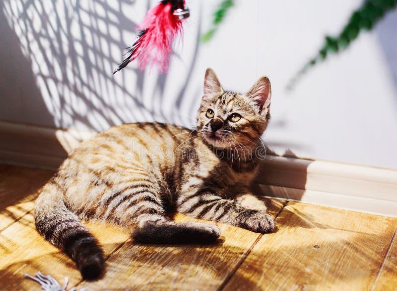 Den gulliga fluffiga randiga gråa kattungen ligger och spelar lazily med en leksak i en ljus dag royaltyfria bilder