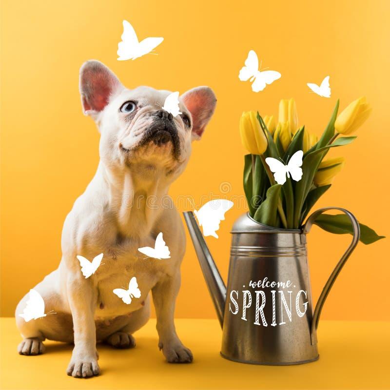 den gulliga franska bulldoggen som sitter nära att bevattna kan med gula tulpan och VÄLKOMMEN VÅRbokstäver arkivfoton