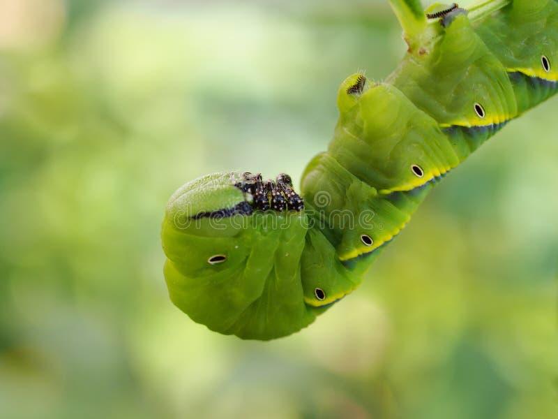 Den gulliga gröna larvlarven avmaskar i natur arkivbilder