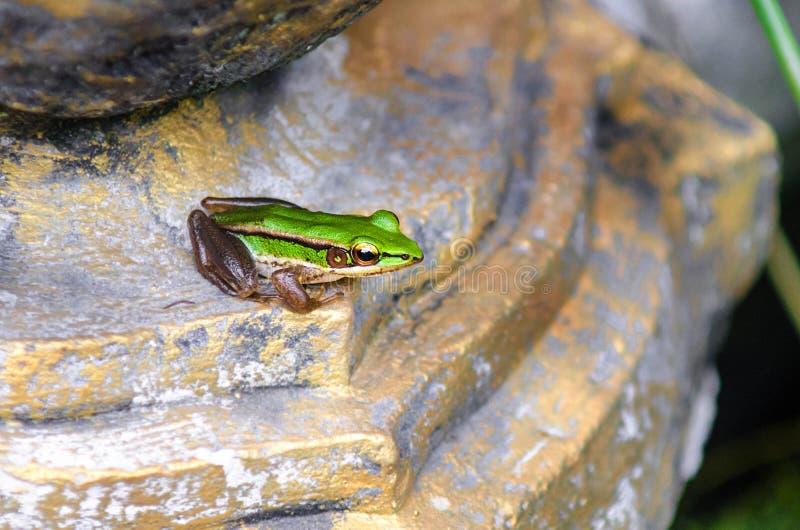 Den gulliga grodan för asiatgräsplan tillbaka sitter på en sten royaltyfria foton