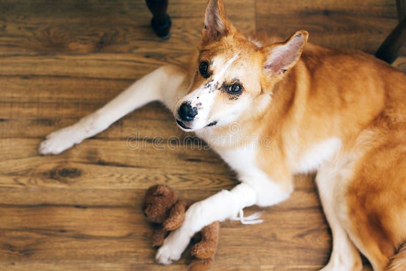 Den gulliga guld- hunden som ligger med sårat, tafsar efter medicinbehandling på veterinär- och att krama hans leksak för nallebj arkivfoto