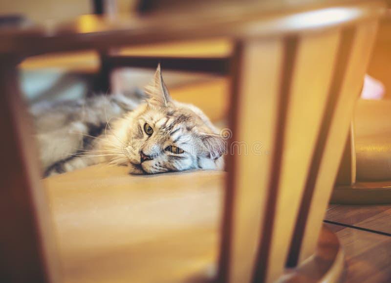 Den gulliga guling-apelsinen katten är att spela som är styggt på ett trägolv arkivfoton