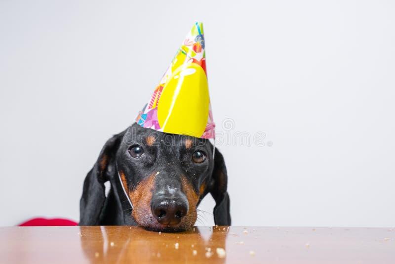 Den gulliga hundaveltaxen, svart och solbränt, äter födelsedagkakan, den bärande partihatten, att ligga som är ledset på tabellen royaltyfri foto