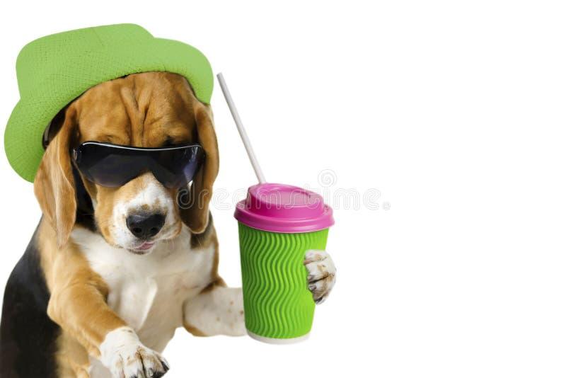 den gulliga hundbeaglet dricker kaffedrinken från en kopp royaltyfria foton