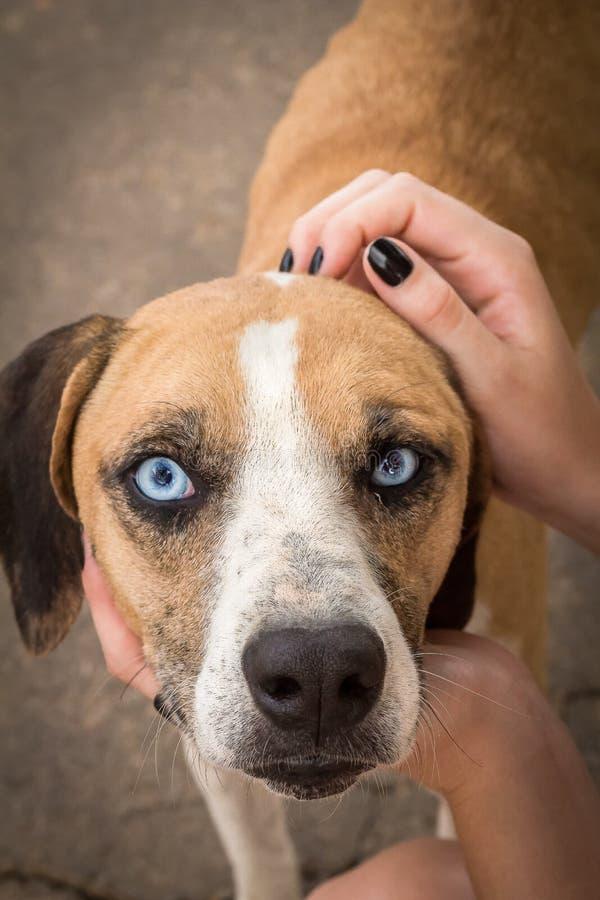 Den gulliga hunden med blåa ögon royaltyfria bilder