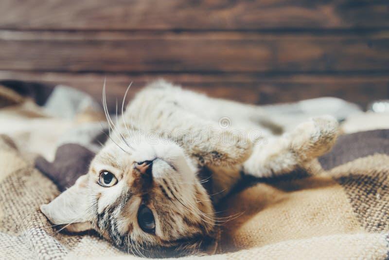 Den gulliga inhemska katten som ligger på hans baksida med, tafsar upp arkivfoton