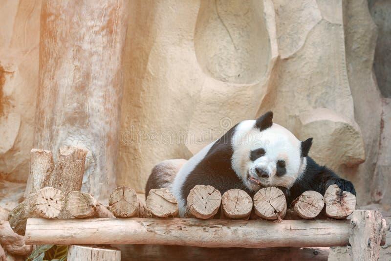 Den gulliga jätte- pandan eller Ailuropodamelanoleucaen tycker om att spela på zoo Förtjusande Big Bear med härlig päls royaltyfria foton