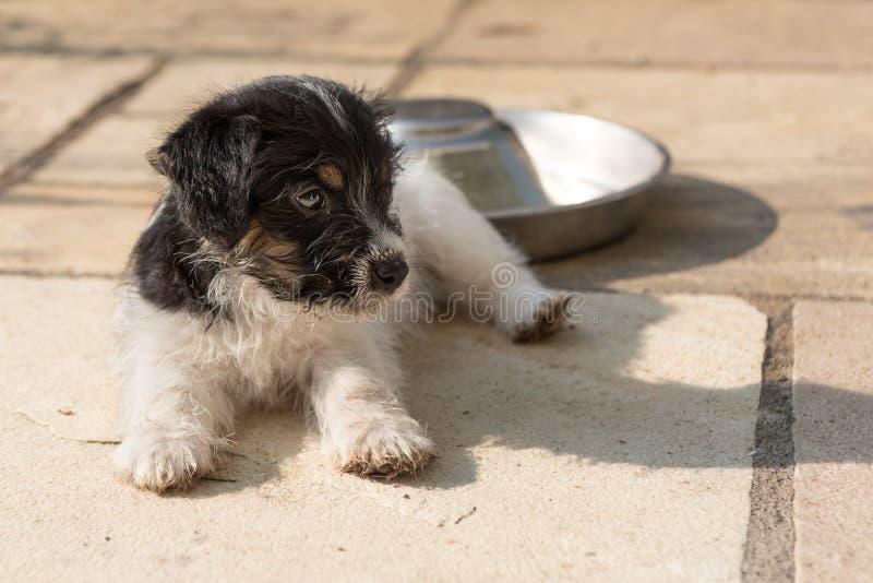 Den gulliga Jack Russell Terrier valpen lägger på terrassen och kopplar av 7,5 veckor gammal ung vovve arkivbilder