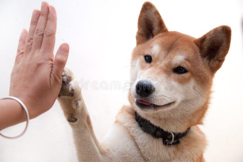 Den gulliga japanska hunden ger högt-fem för kompishälsningsymbol arkivbilder
