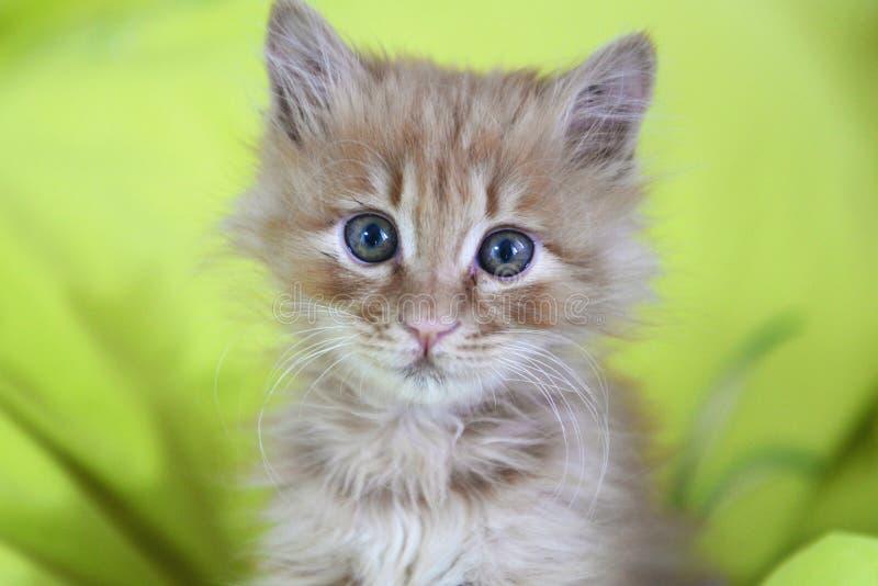 Den gulliga katten behandla som ett barn royaltyfria foton