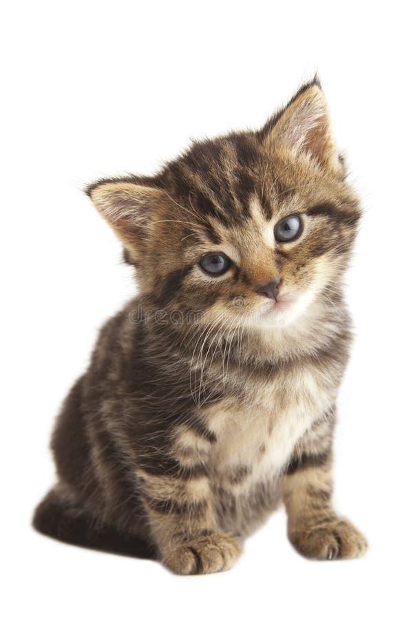 Den gulliga kattungen. royaltyfria bilder