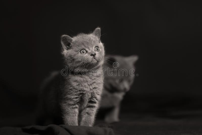 Den gulliga kattungen isolerade ståenden, svarta backgrouns arkivfoto