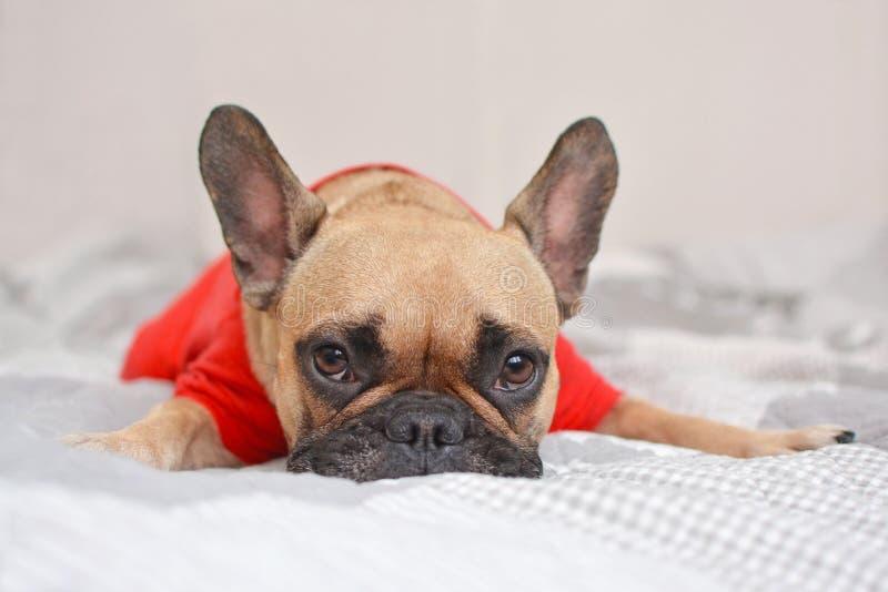 Den gulliga kvinnlign lismar hunden för den franska bulldoggen med den röda skjortan som ligger på filten royaltyfri foto