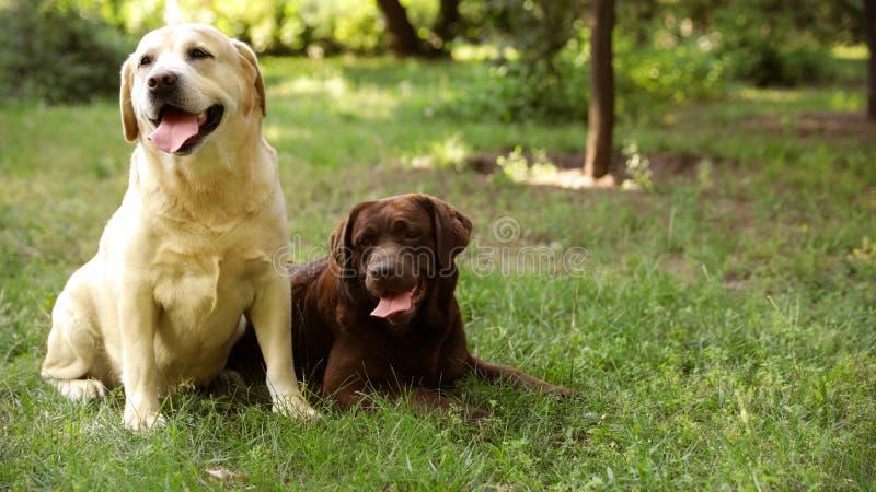 Den gulliga labradorhundkapplöpningen på grönt gräs i sommar parkerar arkivbilder