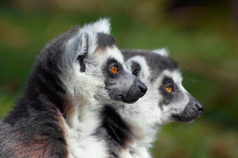 den gulliga lemurscirkeln tailed två arkivbild