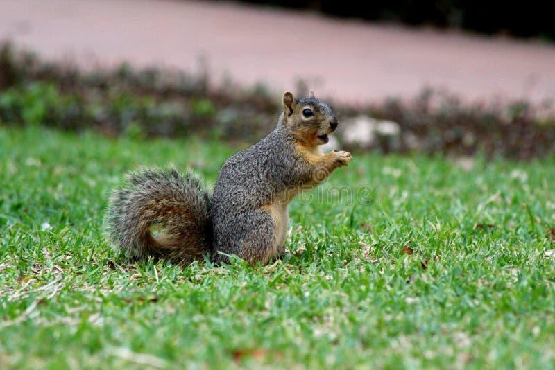 Den gulliga lilla hungriga ekorren som äter i härligt, parkerar royaltyfri bild