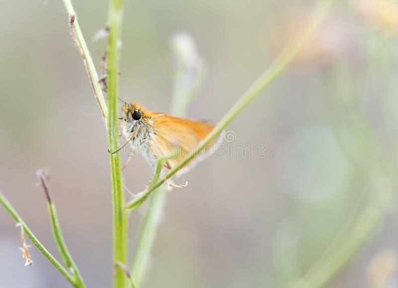 Den gulliga lilla orange fjärilen med enorma ögon kramar den gröna växten arkivfoto
