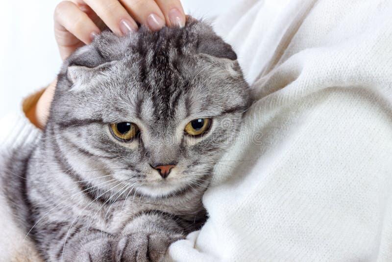 Den gulliga ljust rödbrun katten sover värme i rät maskatröja på hans ägares händer för kattungestående för bakgrund tätt skott u arkivbild