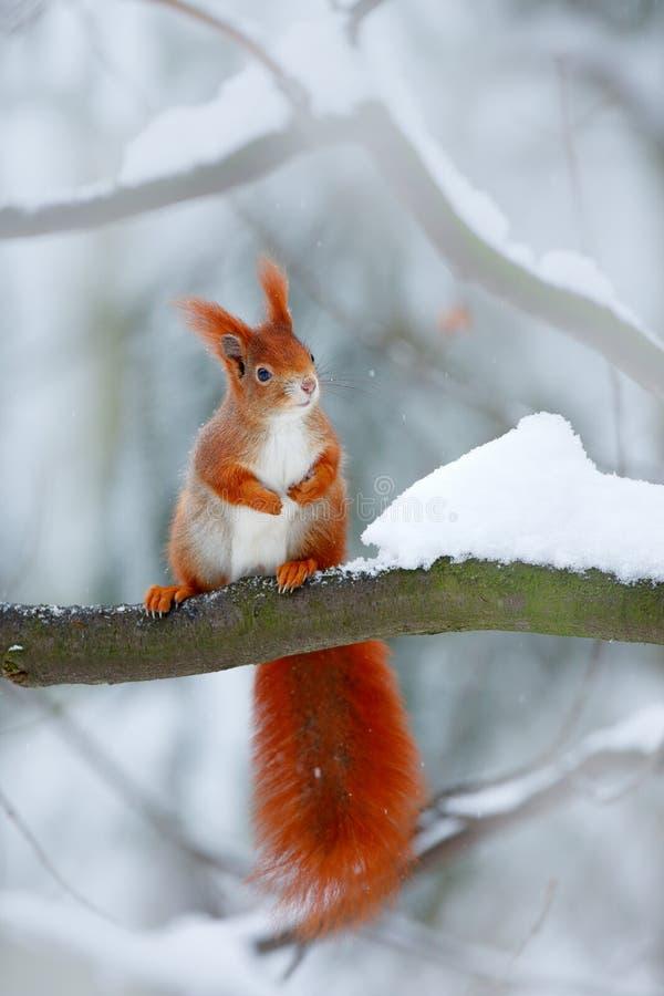 Den gulliga orange röda ekorren äter en mutter i vinterplats med snö, Tjeckien CCold vinter med snö Vinterskog med beautifu arkivbild