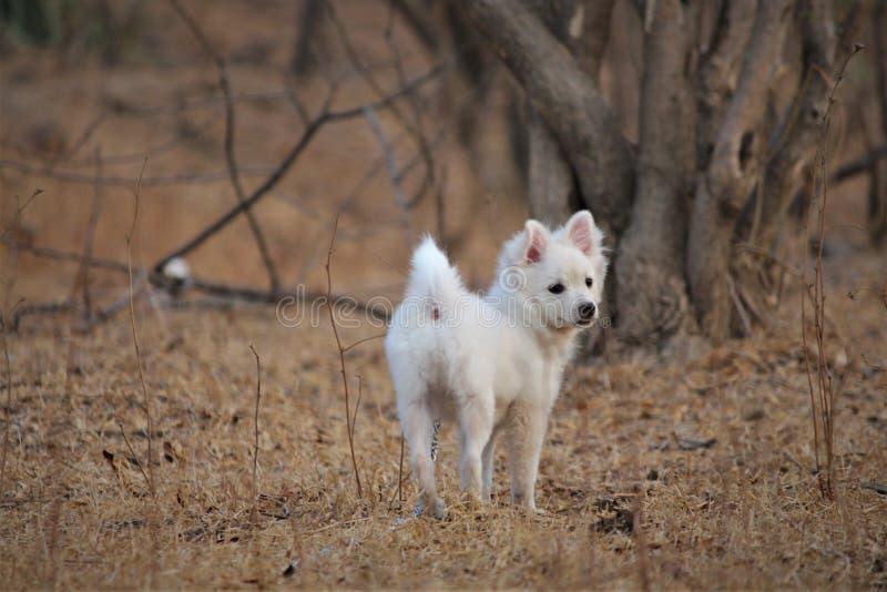 Den gulliga parmenionhunden som in spelar, parkerar från Indien royaltyfria bilder