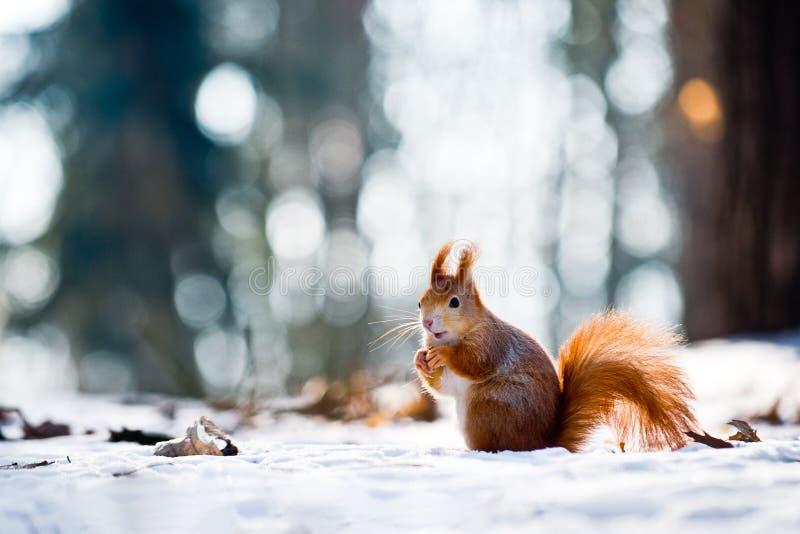 Den gulliga röda ekorren äter en mutter i vinterplats fotografering för bildbyråer