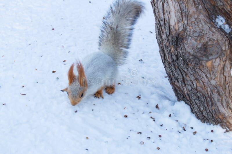Den gulliga röda ekorren äter en mutter i vinterplats med trevlig suddig bakgrund royaltyfri foto