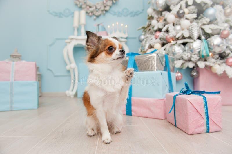 Den gulliga roliga lilla välkomnandet för chihuahuaen för husdjurhunden med hans tafsar i chri royaltyfria foton