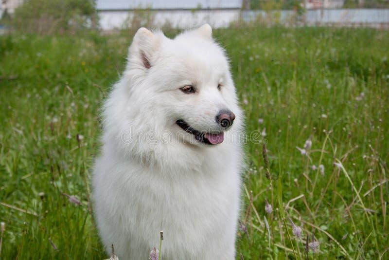Den gulliga samoyedhunden står i ett grönt gräs arkivfoton