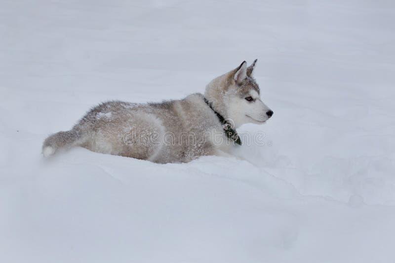 Den gulliga siberian skrovliga valpen ligger på den vita snön Älsklings- djur royaltyfri foto