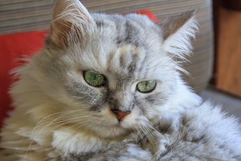 Den gulliga stora fluffiga Siberian katten ligger på soffan royaltyfri fotografi