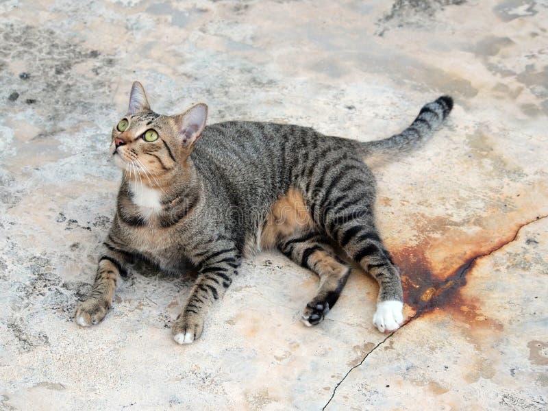 Den gulliga strimmig kattkatten lägger ner och stirra till något royaltyfria bilder