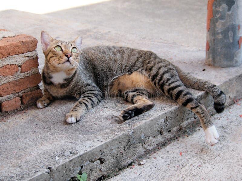 Den gulliga strimmig kattkatten lägger ner och stirra till något arkivbilder