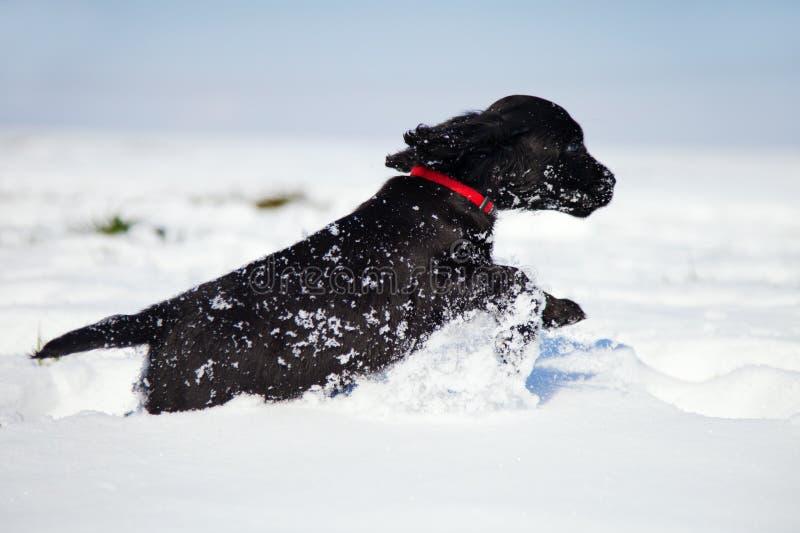 Svärta körningar för cockerspanielspanielvalpen i snowen arkivfoto