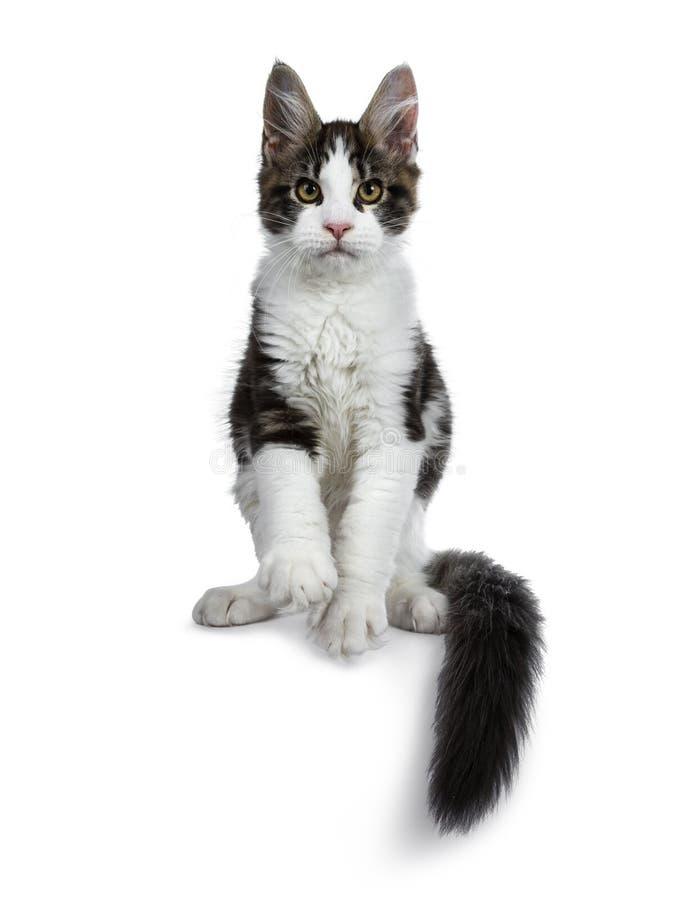Den gulliga svarta strimmiga katten med den vita Maine Coon kattkattungen, framdel tafsar i luft och svans runt om kropp arkivbild