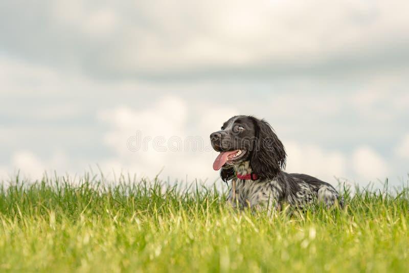 Den gulliga unga stolta hunden för spanieln för den engelska springeren ligger i gräset i en grön äng royaltyfri bild