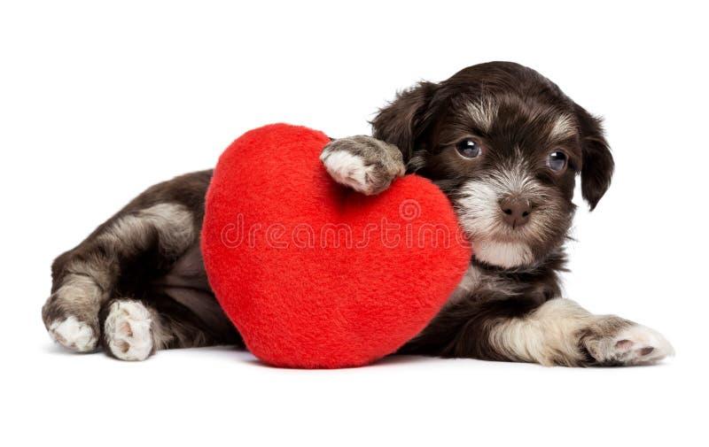 Den gulliga valentinHavanese valpen förföljer med en röd hjärta arkivbild