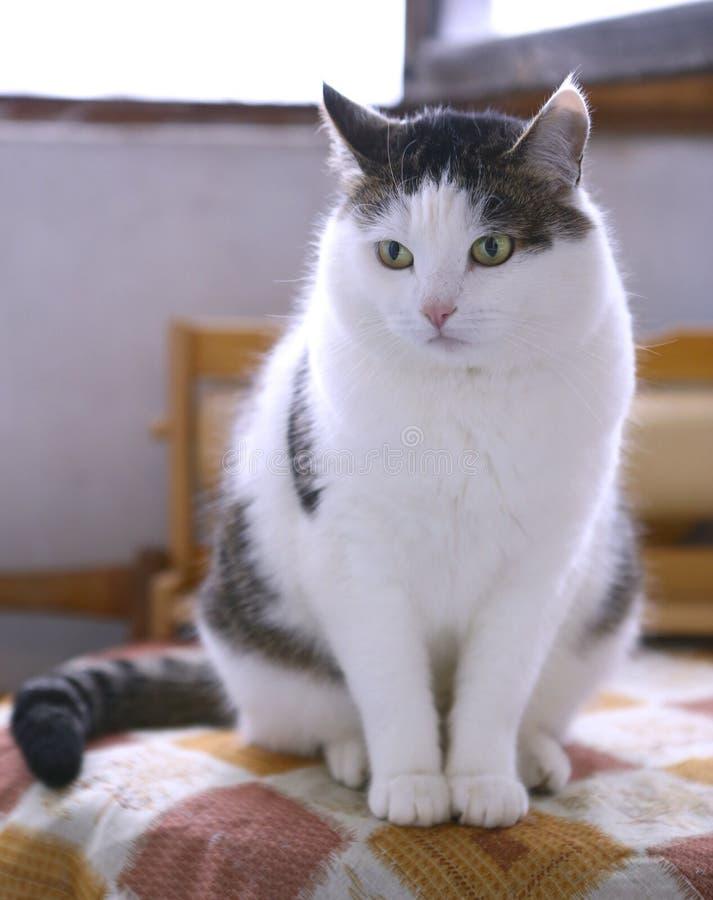Den gulliga vita fluffiga katten sitter på tabellen royaltyfri foto