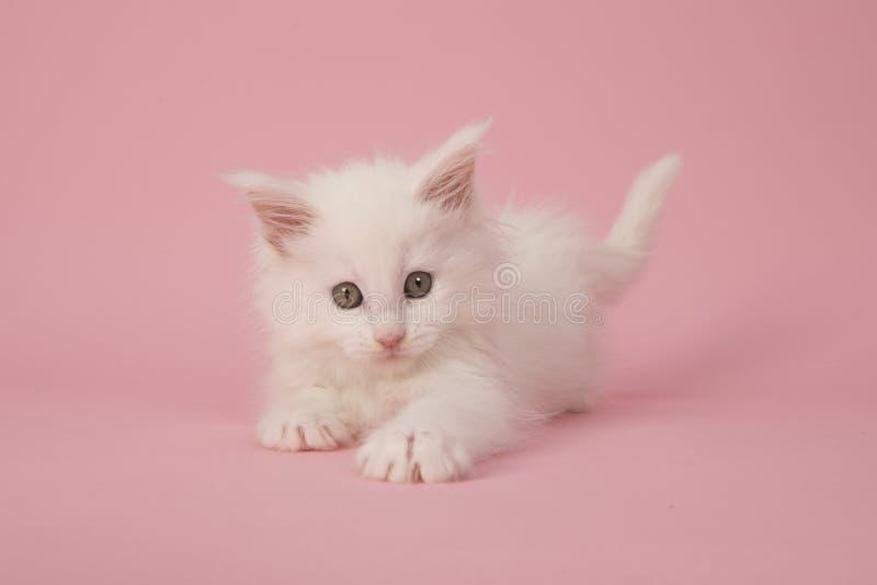 Den gulliga vita huvudsakliga tvättbjörnen behandla som ett barn kattkattungen som spelar på en rosa backgroun arkivbilder