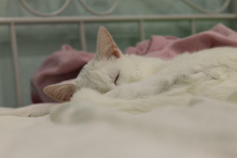 Den gulliga vita katten ser underbara drömmar royaltyfri foto