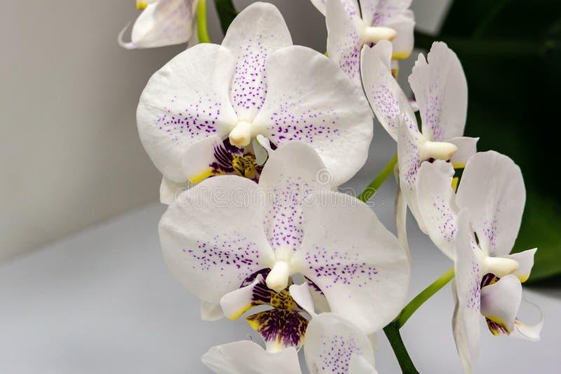 Den härliga filialen av den vita orkidén med purpurfärgade droppar blommar Phalaenopsis'strålglans orkidén för mal eller Phal på  royaltyfri foto