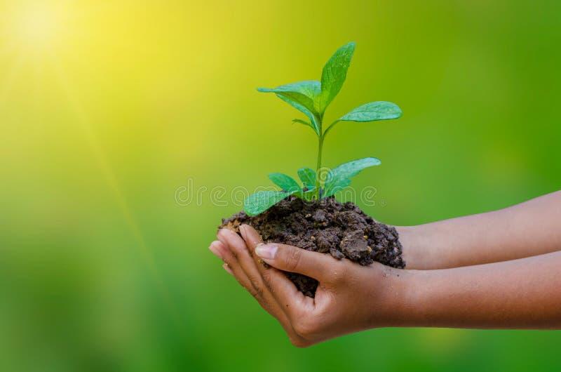 In den Händen von den Bäumen, die Sämlinge wachsen Bokeh grünen die weibliche Hand des Hintergrundes, die Baum auf Naturfeldgras  lizenzfreie stockfotos
