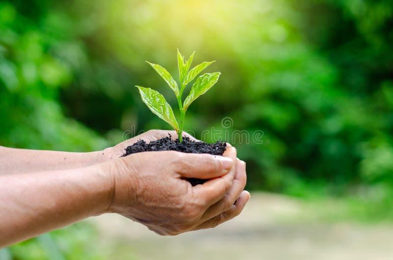 In den Händen von den Bäumen, die Sämlinge wachsen Bokeh grünen die weibliche Hand des Hintergrundes, die Baum auf Naturfeldgras  lizenzfreie stockfotografie
