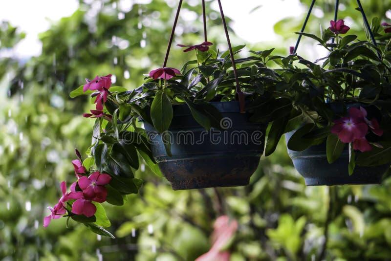 Den hängande blomkrukakorgen för växter lägger in inomhus Planterhållaren med garnering för balkongen för trädgården för kedjehem royaltyfria bilder